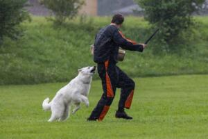 comp Sporthunde Weisser Schäfer 2021-097