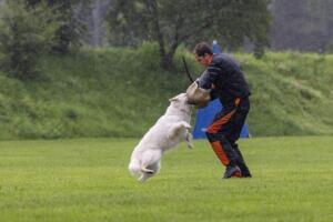comp Sporthunde Weisser Schäfer 2021-101